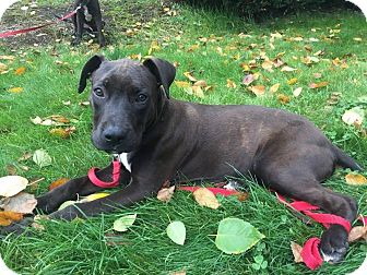 Pit Bull Terrier/Labrador Retriever Mix Puppy for adoption in Portland, Oregon - Ross