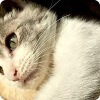 Adopt A Pet :: Lina, Laid-Back Cuddling Kitten Princess!! - Brooklyn, NY