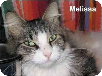 Domestic Longhair Cat for adoption in AUSTIN, Texas - Melissa