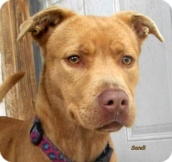 Labrador Retriever/Terrier (Unknown Type, Medium) Mix Dog for adoption in Oskaloosa, Iowa - Sandi