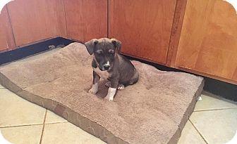 Pit Bull Terrier Mix Puppy for adoption in Fincastle, Virginia - Alfalfa