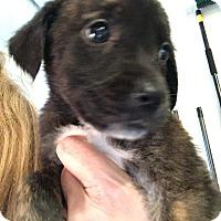Adopt A Pet :: Garcon - West Grove, PA