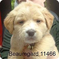 Adopt A Pet :: Beaureguard - baltimore, MD