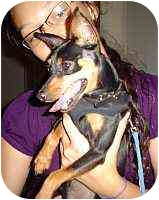 Miniature Pinscher Puppy for adoption in Florissant, Missouri - Bandit