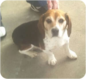 Beagle Mix Dog for adoption in Indianapolis, Indiana - Buddy