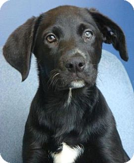 Labrador Retriever Mix Puppy for adoption in Red Bluff, California - Duck