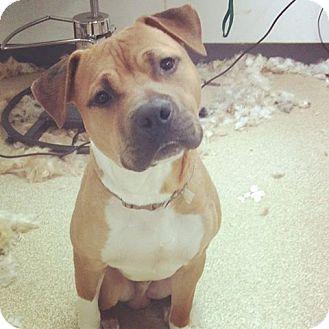 Boxer Pitbull Mix Pit bull terrier/boxer mix dog