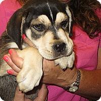 Adopt A Pet :: Whiskey - Salem, NH