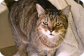 Domestic Shorthair Cat for adoption in East Smithfield, Pennsylvania - Charlie
