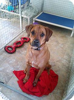 Labrador Retriever Mix Dog for adoption in Westminster, Maryland - Riley