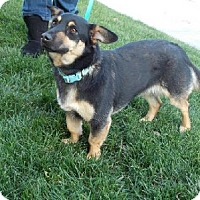 Adopt A Pet :: Snickers - Bakersfield, CA