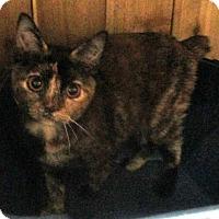 Adopt A Pet :: Tawny (tortoiseshell kitten) - Witter, AR