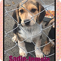 Adopt A Pet :: Sadie (Pom) - Hagerstown, MD