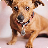 Adopt A Pet :: Nutmeg - Portland, OR