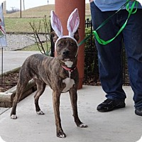 American Pit Bull Terrier Mix Dog for adoption in Dublin, Virginia - Bella