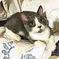 Adopt A Pet :: Bizzy - Arlington/Ft Worth, TX