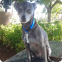 Adopt A Pet :: Bullet - Las Vegas, NV