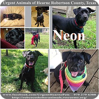 Pug/Chihuahua Mix Dog for adoption in Hearne, Texas - Neon