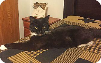 Domestic Mediumhair Cat for adoption in St. Louis, Missouri - Mia
