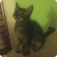 Domestic Shorthair Kitten for adoption in Austin, Texas - Karen