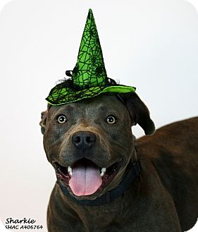 Pit Bull Terrier/American Staffordshire Terrier Mix Dog for adoption in Santa Maria, California - Sofie