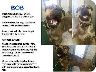 Bullmastiff/Rottweiler Mix Dog for adoption in CASCADE, Wisconsin - Bob