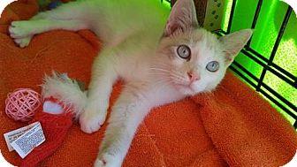 Siamese Cat for adoption in Powder Springs, Georgia - KATE