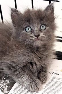 Domestic Mediumhair Kitten for adoption in Key Largo, Florida - Star