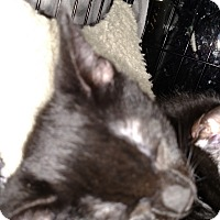 Domestic Shorthair Kitten for adoption in Yuba City, California - Daphne