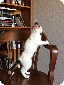 Calico Kitten for adoption in Fresno, California - Sugar