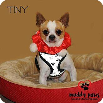 Chihuahua Mix Dog for adoption in Council Bluffs, Iowa - Tiny