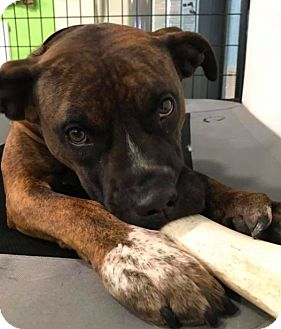 Boxer Mix Dog for adoption in Brunswick, Ohio - MeMe