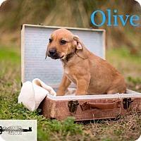 Adopt A Pet :: Oliver - DeForest, WI