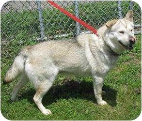 Husky/Shar Pei Mix Dog for adoption in Rochester, Michigan - Lorna