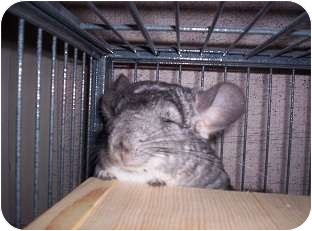 Chinchilla for adoption in Avondale, Louisiana - Chi Chi