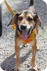 Coonhound Mix Dog for adoption in Dover, Ohio - Shiloh