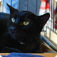 Adopt A Pet :: Dusk - Merrifield, VA