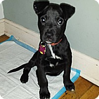 Adopt A Pet :: Stitch - East Rockaway, NY