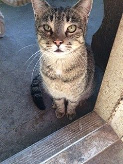Domestic Mediumhair Cat for adoption in Thibodaux, Louisiana - Chubbs  FE2-9229