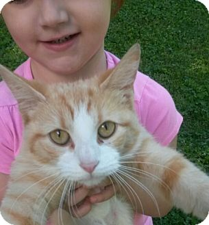 Domestic Shorthair Cat for adoption in Aurora, Indiana - Peaches
