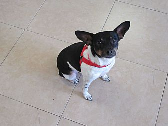 Rat Terrier Mix Dog for adoption in Birmingham, Alabama - Sparky