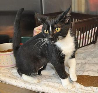 Domestic Shorthair Kitten for adoption in Pompano Beach, Florida - Parker