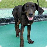 Adopt A Pet :: Bo Duke - St. Francisville, LA