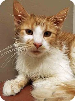 Domestic Longhair Kitten for adoption in Plainfield, Illinois - ADOPTED!!!   Buck