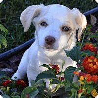 Adopt A Pet :: Phineas - Corona, CA