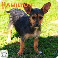 Adopt A Pet :: Hamilton - Washburn, MO