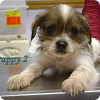 Adopt A Pet :: D10 Litter-Scrappy - Livonia, MI