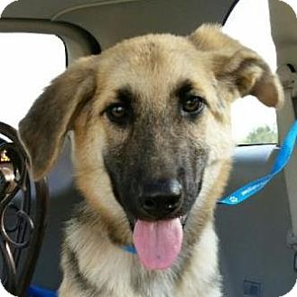 Shepherd (Unknown Type) Mix Puppy for adoption in Kansas City, Missouri - Ray J