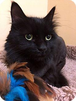 Domestic Longhair Cat for adoption in North Las Vegas, Nevada - Geno