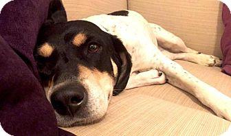 Hound (Unknown Type)/Labrador Retriever Mix Dog for adoption in Berkeley Heights, New Jersey - Sparkles
